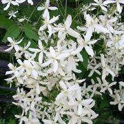 Bellissimi fiori di Clematide
