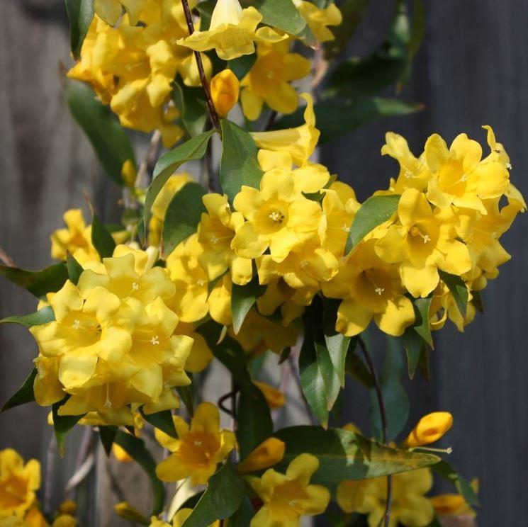 Varietà di Gelsomino giallo