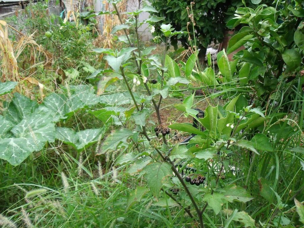 Cosa sono le piante alimurgiche piante in giardino for Piante in giardino
