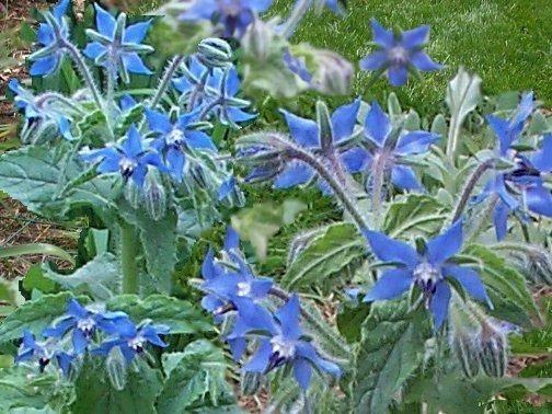 Cosa sono le piante alimurgiche piante in giardino for Pianta dell appartamento di 600 piedi quadrati