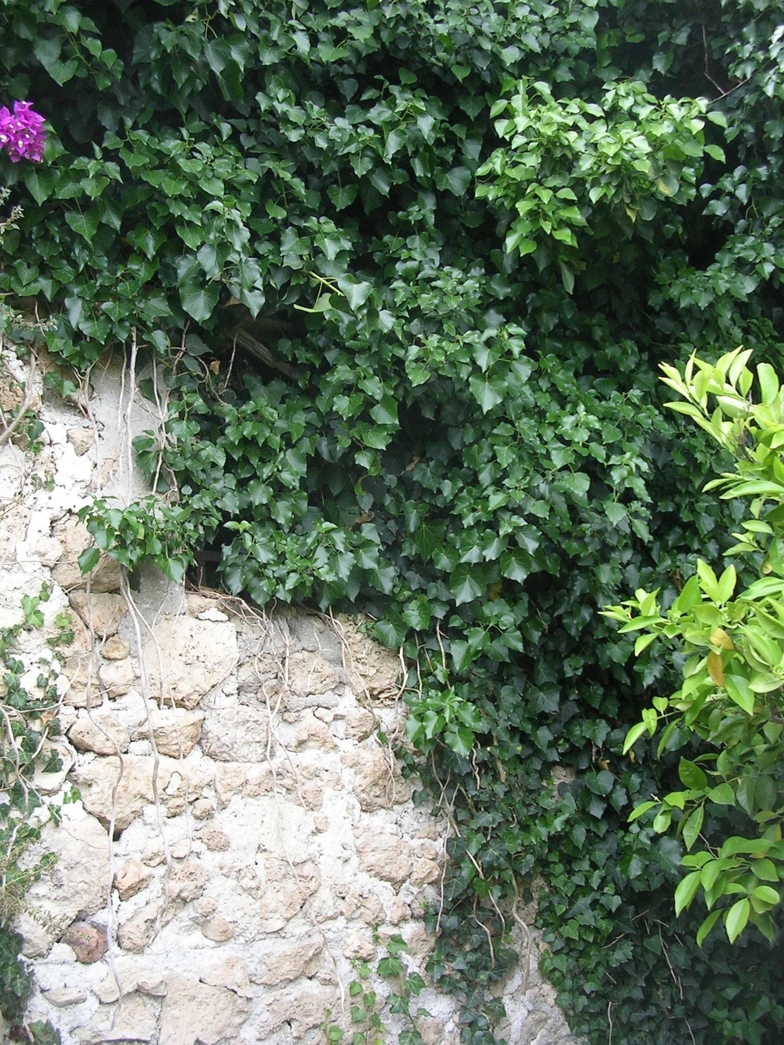 Edera rampicante - Piante in Giardino - Caratteristiche dell'edera rampicante