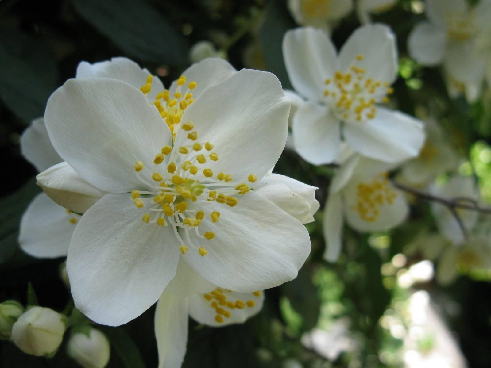 Gelsomino piante in giardino gelsomino for Gelsomino potatura