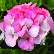 Geranio fiore rosa