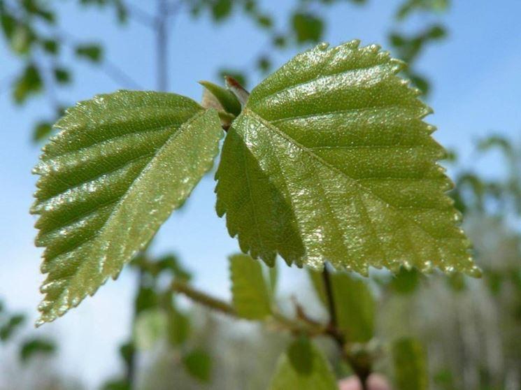 I migliori alberi da giardino piante in giardino gli alberi per il giardino - Migliori alberi da giardino ...