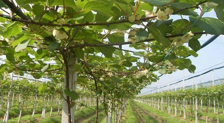 Kiwi coltivazione piante in giardino coltivazione kiwi for Pianta kiwi prezzo