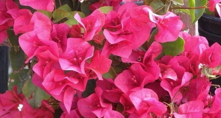 Bellissima Bouganiville rosa