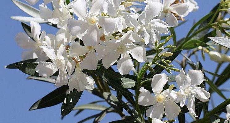 Particolare del fiore di Oleandro