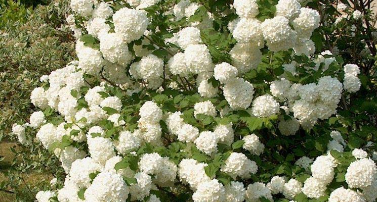 Viburno palla di neve piante da giardino viburno pianta for Piante di giardino