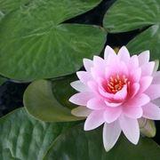 Bellissima ninfea rosa