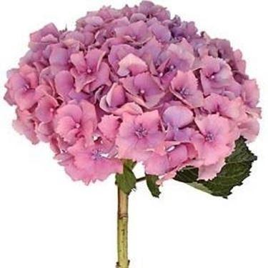 Fiore di ortensia