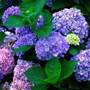 Un esempio di pianta di ortensia
