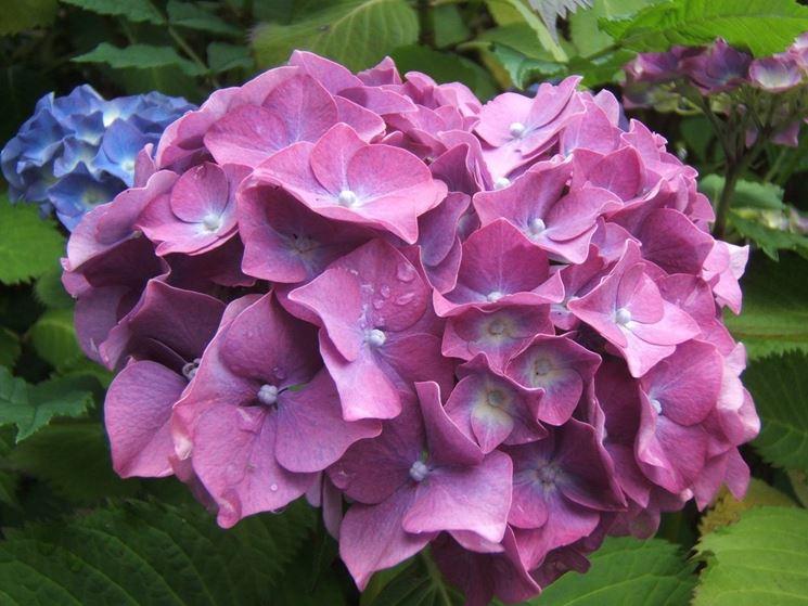 Un particolare dei fiori dell'ortensia