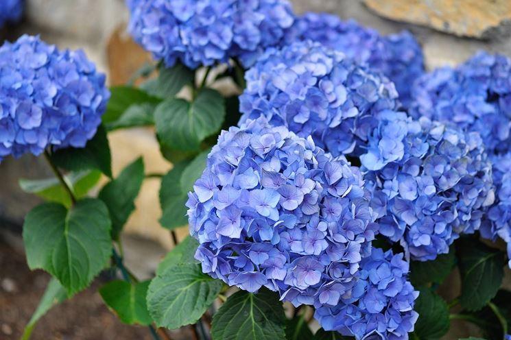 Un'ortensia dal colore blu intenso