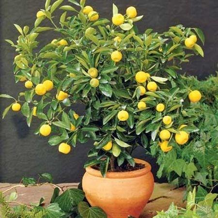Piante da vaso per esterno piante in giardino le for Alberelli da vaso per esterno