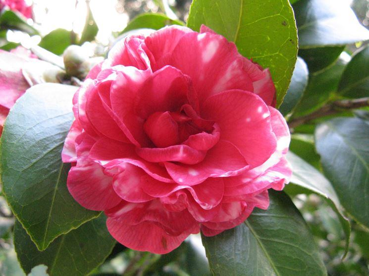 piante sempreverdi - piante in giardino - scopri le ... - Piante Sempreverdi Da Vaso Balcone